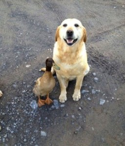dog, duck, cute, animal pics, dog smile